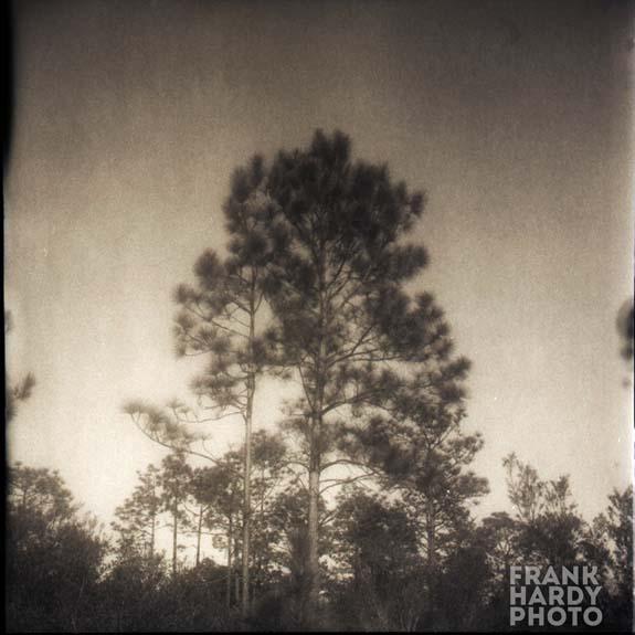 Pine Tree 2_Rollei_SFW_FHP