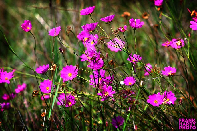 IMG_5161  Wild Flowers _ RTP _ 10 July 15 _6x4 _ SFW